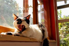 Sleepyhead (Kali Tyhi Foto) Tags: cute cat shiny sunny sleepy sleepyhead yawning