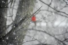 Blizzard in NJ (Dotsy McCurly) Tags: red snow bird nature beautiful lens snowflakes nikon cardinal nj blizzard 600mm d7200
