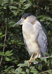 Black-crowned Night-Heron (TomLamb47) Tags: bird nature orlando florida wildlife breeding swamp gatorland nightheron blackcrowned bcnu