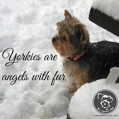 I dont know about yours, but mine is a guardian angel! (itsayorkielife) Tags: yorkie quote yorkshireterrier yorkiememe