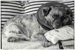 First Day of Recovery (Flickr Goot) Tags: camera light blackandwhite bw dog pet white black project mutt phone samsung surgery smartphone galaxy rocket 365 february available s6 2016 project365