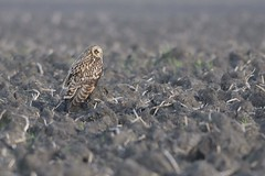 _HNS6971 Velduil : Hibou marais : Asio flammeus : Sumpfohreule : Short-eared Owl