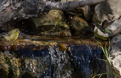 Friends sharing a drink (Anthony Kemper) Tags: friends green water birds yellow waterfall rocks colorful hummingbird