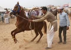 Horse Dancing (Simon Maddison LRPS) Tags: raw pushkar rajasthan