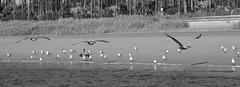 Pelicans3 (jb5860) Tags: artisticphotos bestartistic jb5860