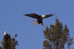 0A8A7425 (onegreatcity55) Tags: canada nature canon wildlife manitoba gimli assiniboinepark oakhammockmarsh lakewinnipeg ftwhyte