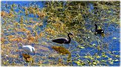 Sawgrass Lake Park -St Petersburg, Florida (lagergrenjan) Tags: park lake birds st florida petersburg sawgrass