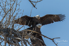 Bald Eagles copulating sequence - 17 of 28