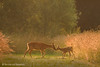 Summer Love (hvhe1) Tags: wild summer holland home nature animal golden warm wildlife nederland thenetherlands doe fawn roedeer reh chevreuil capreoluscapreolus tonden hvhe1 hennievanheerden reekalf reegeit