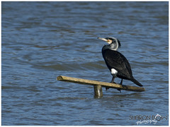 Cormorant (Phalacrocorax Carbo) (Sharon Dow Photography) Tags: wild england bird english nature water sussex bill wings europe european westsussex britain wildlife ngc feathers waterbird aves british cormorant shag horsham shags costal 2016 phalacrocoracidae neornithes aquaticbird largebird hookedbill neoaves warnhamnaturereserve d7100 costalbird suliformes nikond7100 sharondowphotography phalacrocoraxcarbol march2016