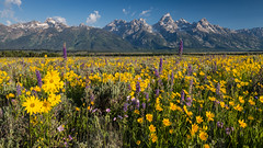 Teton Wildflowers (Jeremy Duguid) Tags: park morning flowers summer usa mountains west nature sunrise canon landscape hole grand jeremy jackson flats national western antelope wildflowers wyoming teton root tetons wildflower balsam duguid gtnp
