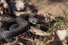 Solvarm (tusenord) Tags: black spring snake attitude orm vår viperaberus huggorm attityd svarthuggorm fotosondag fs160320