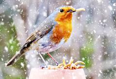 """A Cool Dude"". (mortimer.adrian) Tags: snow colour bird nature robin animal feeding"