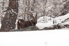 la natura ci osserva.. (Mekengi) Tags: natura neve inverno freddo 2016 stambecco valsavarenche passeggiatefotografiche
