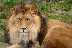 Afrikaanse leeuw - Panthera leo leo - African Lion (MrTDiddy) Tags: male cat mammal zoo big kat feline leo african lion bigcat antwerp antwerpen zooantwerpen grote nestor leeuw panthera mannelijk zoogdier afrikaanse grotekat
