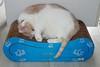 Tessa Tries Something New (I Flickr 4 JOY) Tags: cats cat tessa sole pest oneupmanship catsleeping catscratcherthing