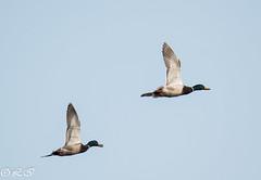 _DSC2676 (Inapapel) Tags: nature birds nikon flickr ducks birdwatching d800 gipuzkoa birdhunting txingudi anade hegaztiak anatidas tamron150600 birdphotografy