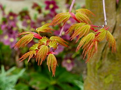 Spring has sprung  Explored (Jane.Des) Tags: tree japanese miniature spring maple outdoor foliage acer