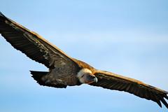 IMG_2085a (berserker170) Tags: buitre vulture monfragüe 7d 150500 eos extremadura montaña mountain ave rapaz bird prey aire libre volando flying flickrexploreme