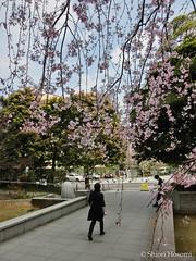 Cerasus spachiana f. spachiana (Shiori Hosomi) Tags: flowers plants japan cherry tokyo blossoms april  sakura   prunus rosales cerasus  2016 rosaceae       23