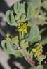 Tetragonia decumbens, Burns Beach, near Joondalup, WA, 01/03/16 (Russell Cumming) Tags: plant perth westernaustralia joondalup aizoaceae burnsbeach tetragonia tetragoniadecumbens