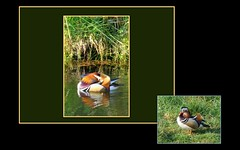 Mandarin duck (erwinjanssenruijs) Tags: mandarinduck mandarijneend