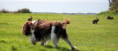 Benjy and the bunnies (billnbenj) Tags: dog rabbit bunny cumbria spaniel springerspaniel lapin barrow benjy