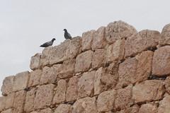 Qasr Hallabat - Umayyad Palace (jrozwado) Tags: bird museum asia pigeon wildlife jordan islamic rockdove umayyad desertcastle umayyadpalace   hallabat qasralhallabat