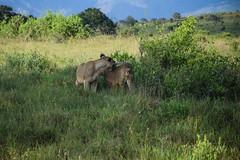 Safari, Lions (robseye76) Tags: africa park holiday kenya lion safari national lions vacations kenia tsavo wakacje afryka