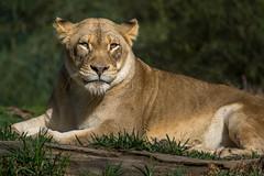 Lazing Lioness (helenehoffman) Tags: africa animal cat mammal lion bigcat carnivore lioncamp pantheraleo felidae specanimal sandiegozoosafaripark