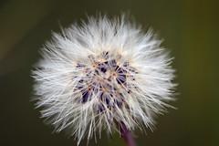 wish (Lynncam26) Tags: flower macro nature spring wish dandylion