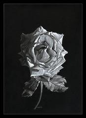 e11 (Karwik) Tags: white flower rose pencil pencils drawing charcoal crayons crayon roza kwiat bialy róża ołówek rysunek biały wegiel kredki olowek węgiel