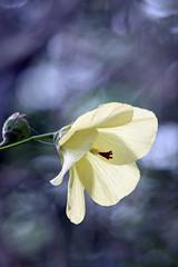 Flowers, flowers! (Uhlenhorst . Sorry, I need a long break!) Tags: travel flowers plants reisen unidentifiedplant blossoms pflanzen australia blumen australien blten 2016 citrit