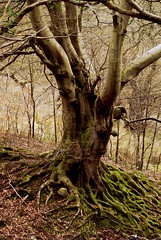 Old Beech at Silent Valley (mikejones7734) Tags: tree woodland naturereserve beech oldtrees silentvalley gwentwildlifetrust