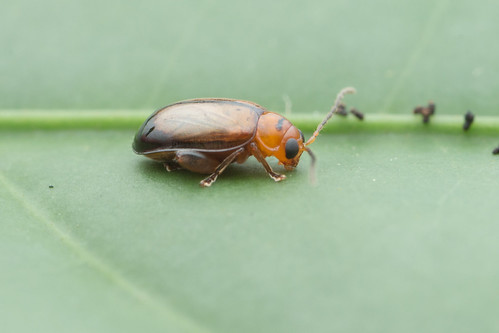 Flea beetle. Chrysomelidae. Tribe Alticini, subfamily Galerucinae. 5mm