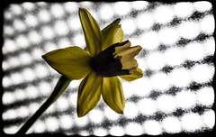 Daffodil. (CWhatPhotos) Tags: pictures light shadow flower macro field yellow closeup that photography foto dof image artistic bokeh pics picture pic olympus images have photographs photograph fotos daffodil setting microscope which depth daffodils contain daf daffs tg4 cwhatphotos olympustg4