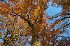 Central Park-Sheep Meadow, 11.21.15 (gigi_nyc) Tags: nyc newyorkcity autumn centralpark autumncolors fallfoliage sheepmeadow