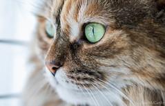 Kitty Portrait (Photography And Artwork of Melissa McCarthy) Tags: portrait pet animal cat kitty tortoiseshell greeneyes sigma105mm