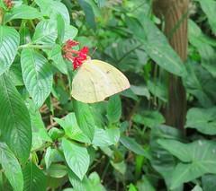 Catopsilia pomona 1 (barryaceae) Tags: house butterfly harbour australia nsw coffs the ausbutterfly