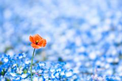 Poppy () Tags: blue flower macro japan bokeh sigma olympus apo poppy  f28 omd em1 babyblueeyes nemophila m43 150mm  sigma150mmmacro sigma150mmf28   150mmf28  sigmamacro150mmf28  micro43 microfourthirds  sigmaapomacro150mmf28 olympusem1