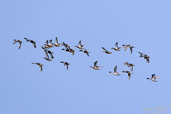 Flying Ducks (_DSF6933) (Param-Roving-Photog) Tags: sky birds flying flock flight ducks punjab wetland ropar