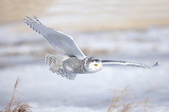 Snow Owl (Peter Stahl Photography) Tags: winter snow snowy alberta owl snowowl