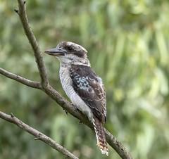 Laughing Kookaburra (Dacelo novaeguineae) (archie0) Tags: bird australia kookaburra