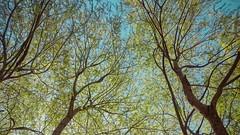 Bahara kavuturan Rabb'im hamdolsun. (abdullahydemir) Tags: blue sky tree green spring trkiye mavi turkish trk bahar gkyz yeil aa