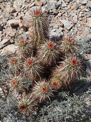Rocky hillside with Echinocereus engelmannii, ENGELMANN'S HEDGEHOG (openspacer) Tags: cactus desert nevada hedgehog cactaceae wildflower echinocereus nyecounty ashmeadowsnationalwildliferefuge