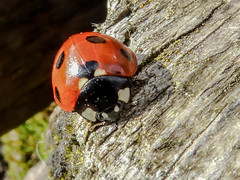 Ladybird (NSJW photos) Tags: red black macro insect beetle spots ladybird ladybug antennae nsjwphotos