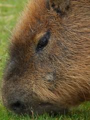 Cute capybara. (Sharon B Mott) Tags: portrait cute nature animal martha upclose capybara yorkshirewildlifepark