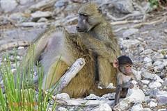 chacma baboon2 (papio ursinus) (Colin Pacitti) Tags: outdoor wildanimal baboon baboons coth chacmababoon papioursinus baboonfamily fantasticwildlife coth5 hennysanimals sunrays5