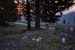 A new day (Maruša Žerjal) Tags: morning flowers nature sunrise spring blossom hiking crocus blooming velikaplanina pomlad zefran teloh