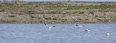 Avocet (24) (Mal.Durbin Photography) Tags: nature birds newport naturereserve newportwetlands maldurbin goldcliffnewport